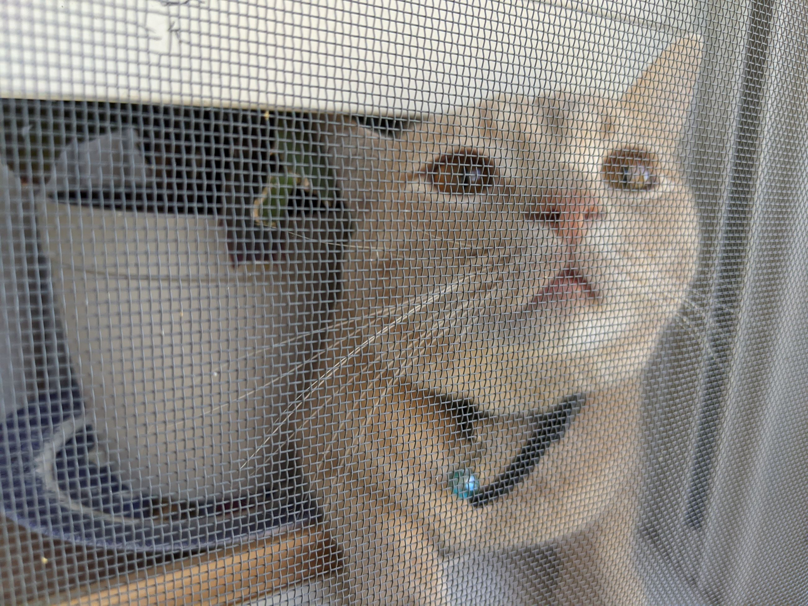 Short haired orange tabby sniffing the great outdoors through a window screen