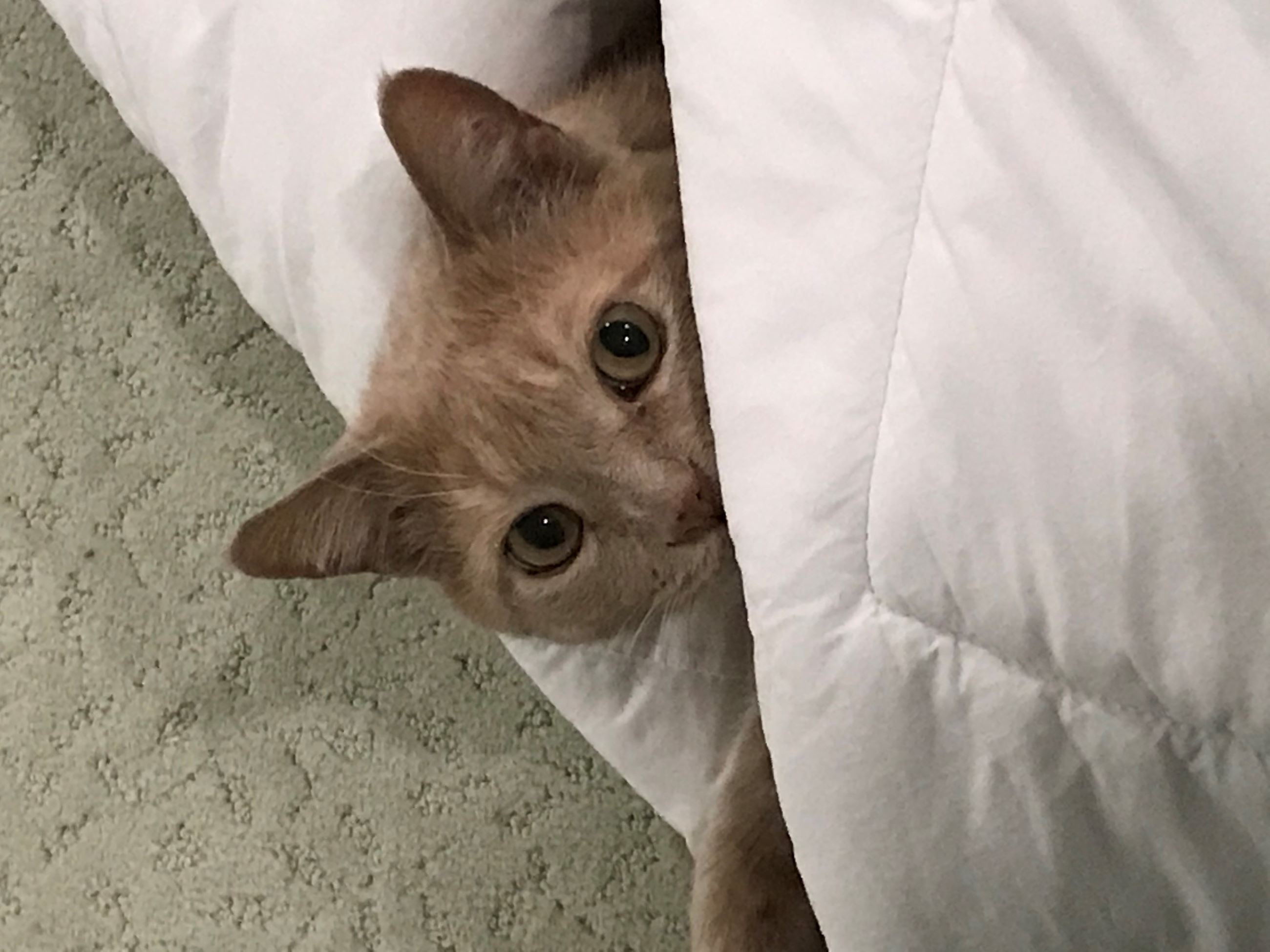 Buff kitty peeking out from the blanket
