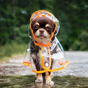 a chihuahua in a rain coat